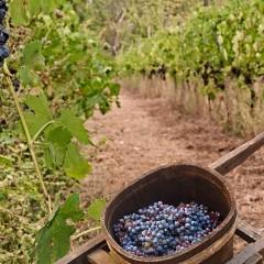 Vignes de Crète